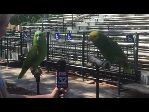 Reporter Interviewing Two Parrots
