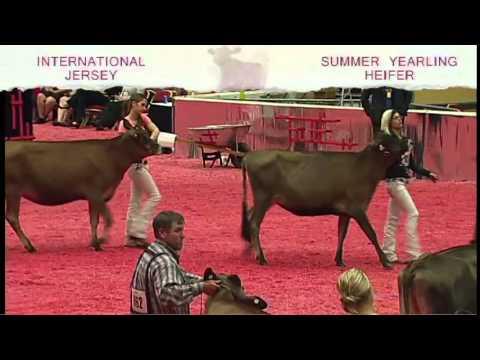 International Jersey Show - Summer Yearling Heifer - YouTube