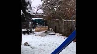Border collies in the snow