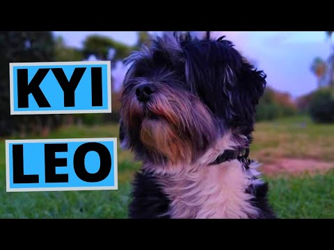 kyi-leo-dog-breed---facts-and-information