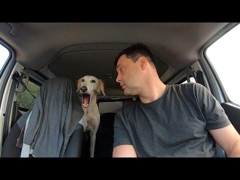 Необычный найденыш, борзая собака Салюки по имени Тиа.