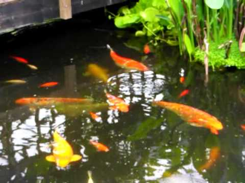 Koi fish pond with some big old fish youtube for Large koi fish