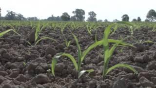Striegeln gegen Unkraut - Mais