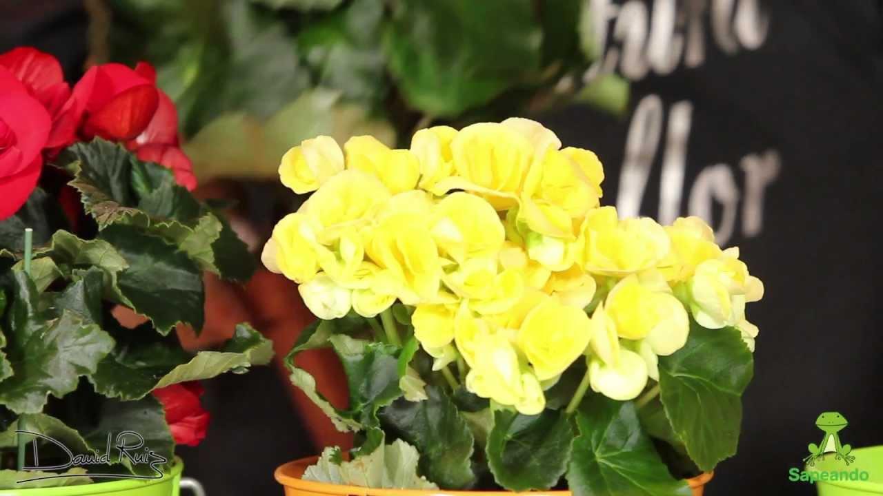 Cuidados de una begonia youtube - Cuidados de las hortensias ...