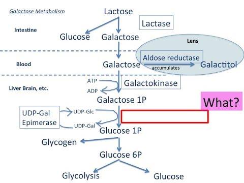 Galactose metabolism