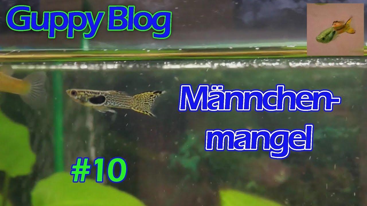 Guppy blog folge 10 m nnchenmangel guppys vom for Aquarium fische im teich