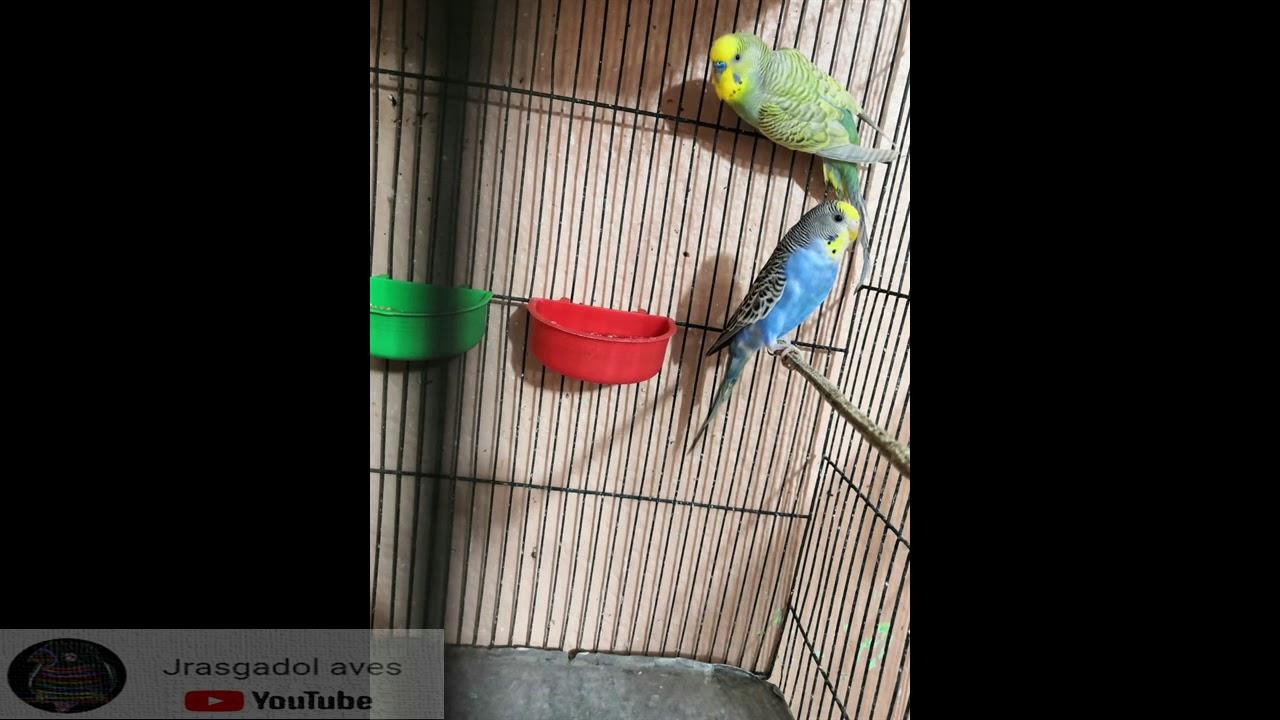 COMPORTAMIENTOS EN LOS PERIQUITOS AUSTRALIANOS/ un tema muy interesante /Jrasgadol Aves