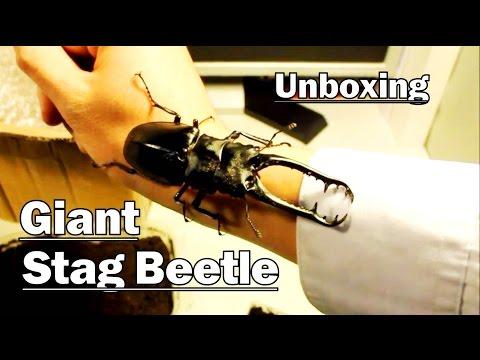 *Unboxing* GIANT STAG BEETLE! - (Prosopocoilus giraffa)