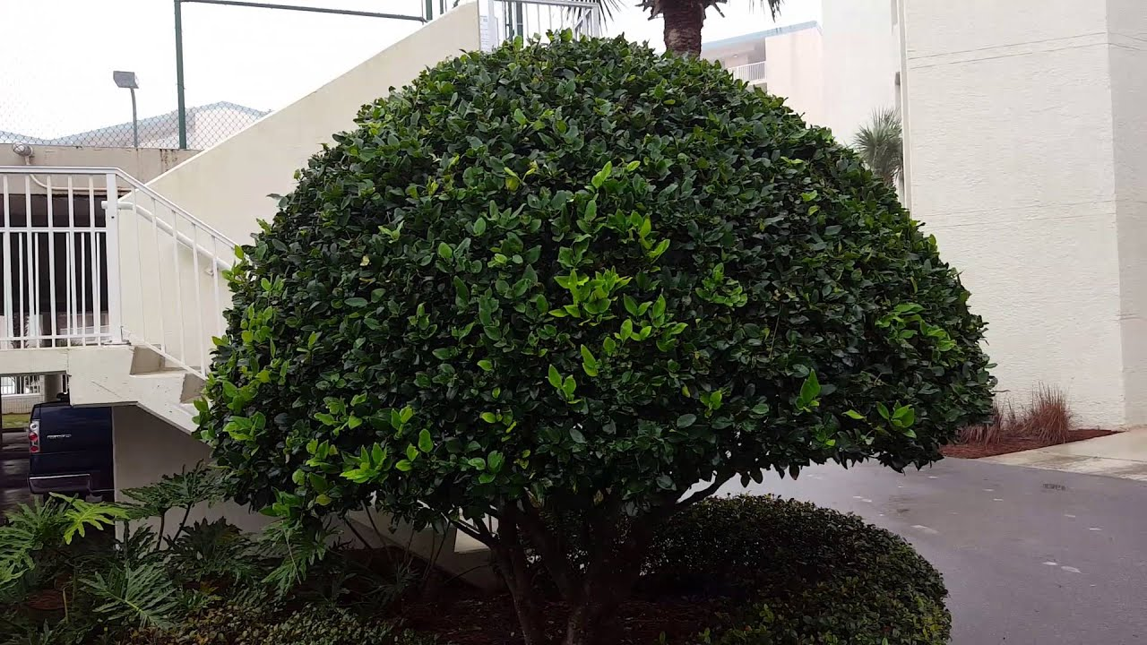 Hsg Inc Wax Leaf Ligustrum Corrective Pruning From Over Shearing Before