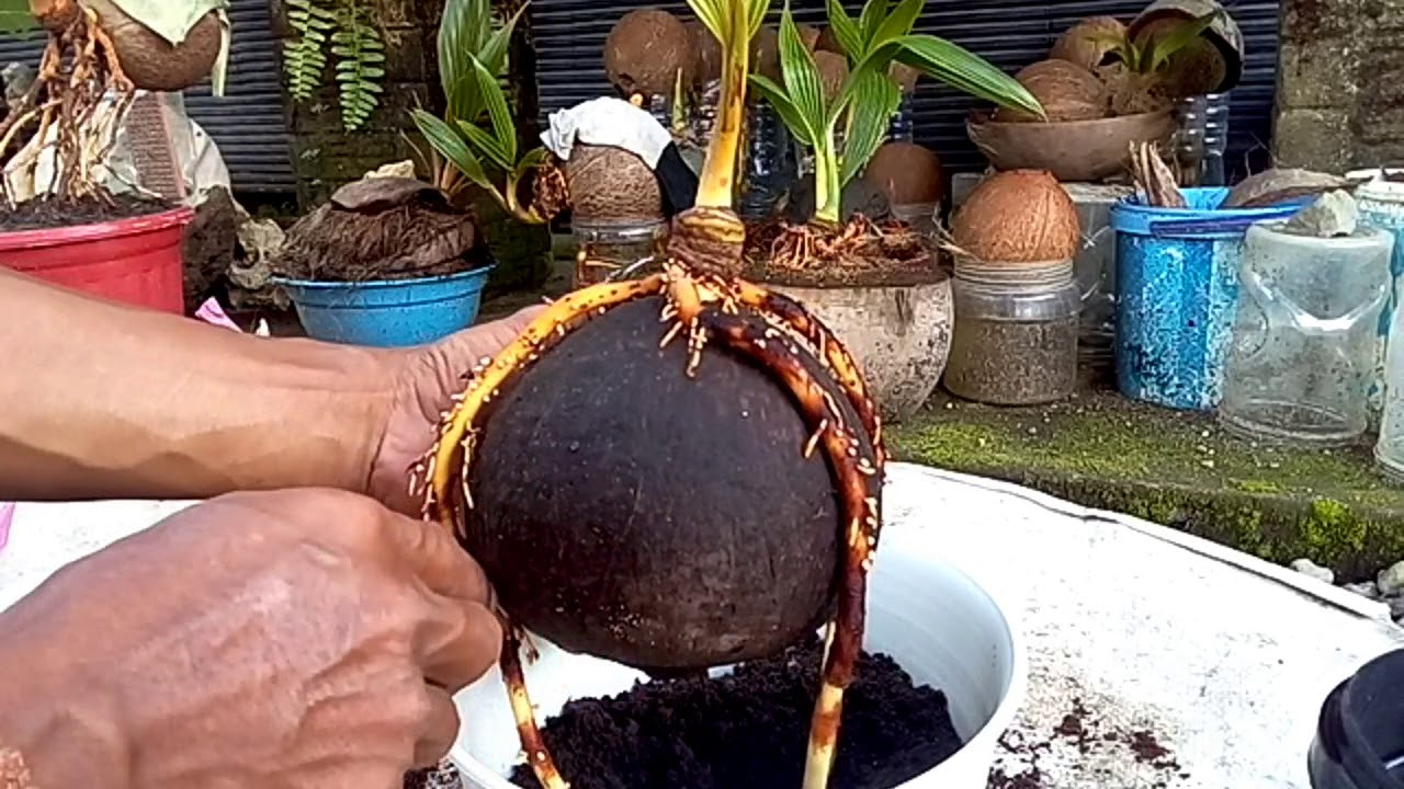 Bonsai Kelapa Media Air Pindah Ke Media Tanah Kokopit Pupuk