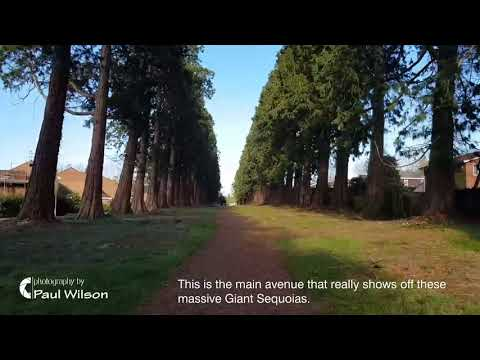 Camberley's Avenue of Redwood Trees