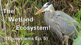 Ecosystems Episode 5: The Wetland Ecosystem! (4K)
