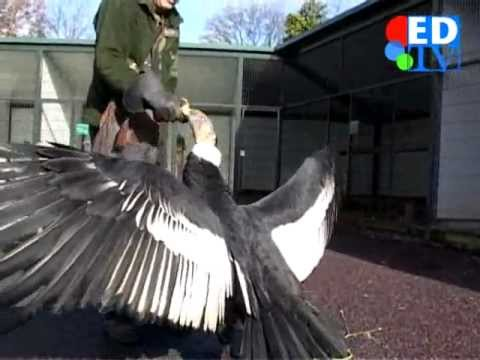 Biggest Condor In The World