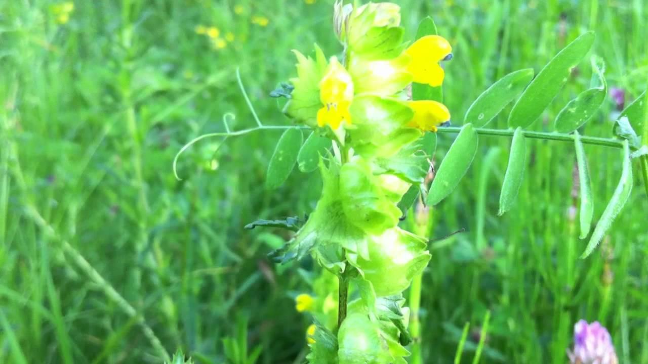 Greater Yellow Rattle Rhinanthus Angustifolius 2012 05 30 Youtube