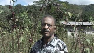 Improving red sorrel production in Jamaica pt1 of 4