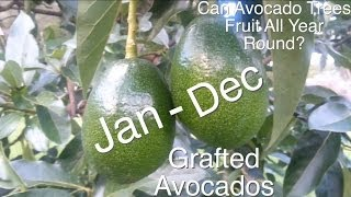 Can Grafted Avocado Trees Fruit All Year Round?