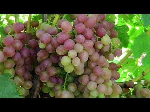 ВИНОГРАД ЛИВИЯ. Красный виноград