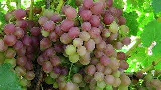 ВИНОГРАД ЛИВИЯ. Красный виноград(Ливия – столовая сверхранний сорт винограда с крупными гроздями (800г) и ягодами (8г) розового цвета мускатно..., 2014-09-23T18:25:52.000Z)