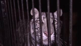 Грузовик с редкими белыми тиграми перевернулся на трассе по пути в Уфу