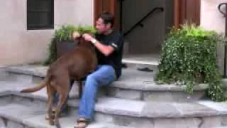 Lab Dog Training How To Collar Train Your Dog For Obedience
