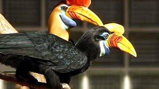 WREATHED HORNBILL - Burung Julang Emas - GEMBIRA LOKA Zoo [HD]