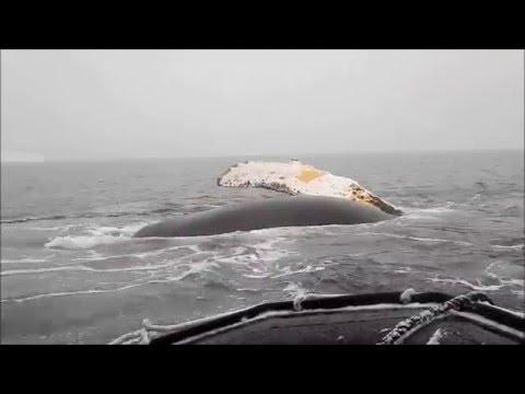 Humpbacks Bubblenet Feeding In The Antarctic