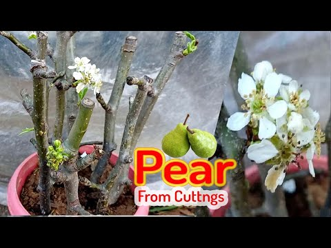 How to grow Pear tree from cutting || Propagate pear tree from cutting