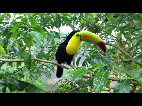 Rainbow-billed Toucan, Costa Rica.