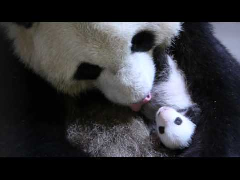 Toronto Zoo Giant Panda Er Shun With One Month Old Cub