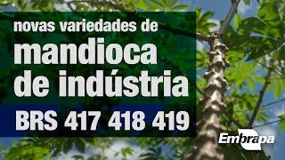 Mandiocas de indústria BRS 417, BRS 418 e BRS 419