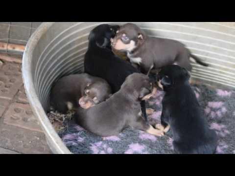 Karmala Wills x Karmala Heli pups, 3 weeks old