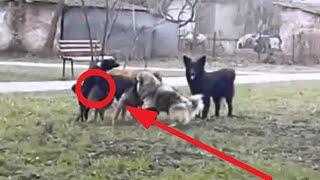 Небезпечні собаки і петарда жесткий прикол