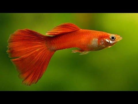 4-pakan-alami-ikan-guppy-agar-cepat-besar-dan-tambah-cantik