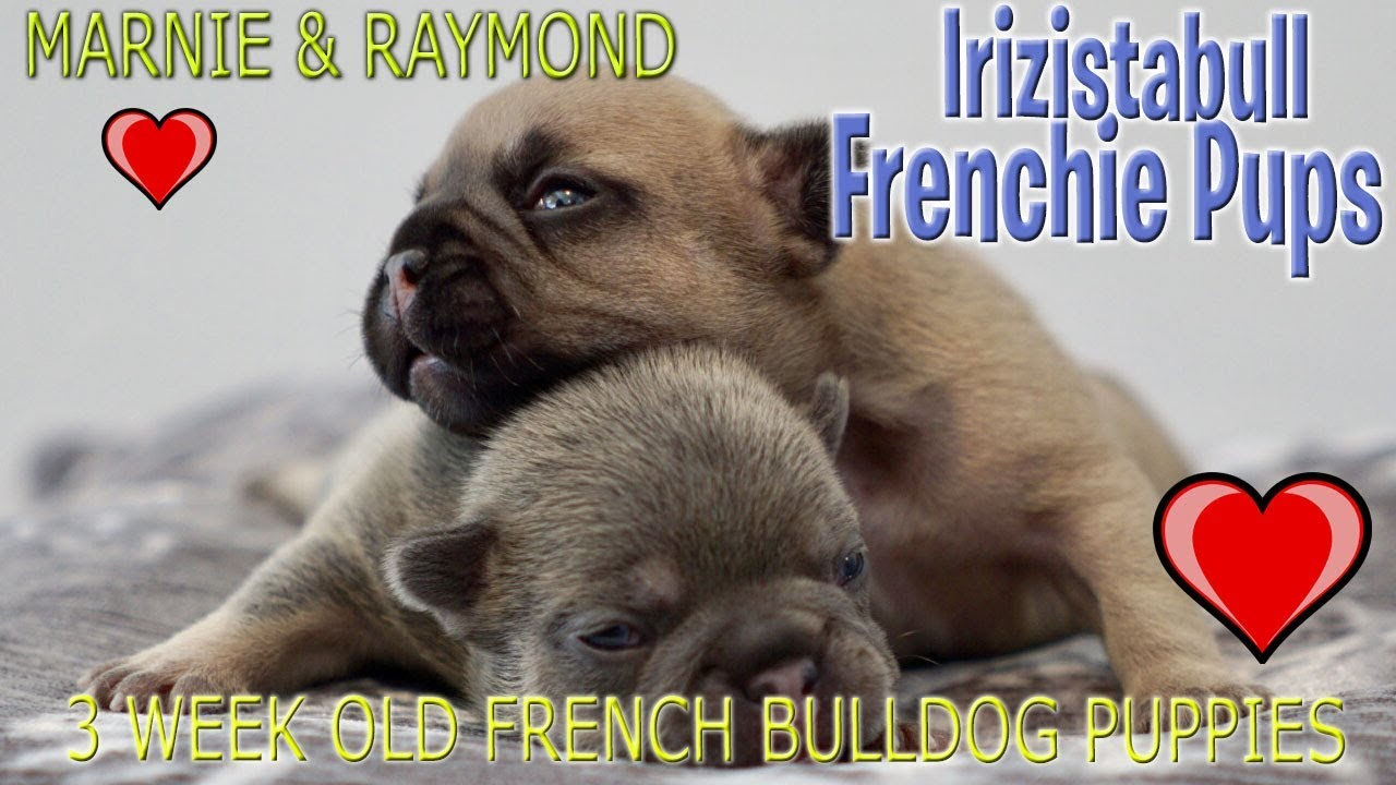 irizistabulldogs | marnie & raymond 3 week old french