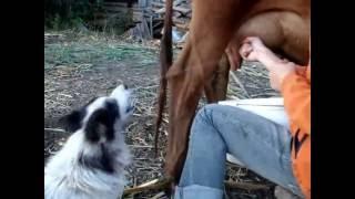 Собака пьет парное молоко