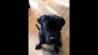 Vocal Training English Mastiff Puppy.