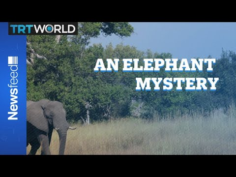 The curious case of the dying pachyderms