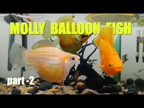 KEEPING Golden MOLLY BALLOON FISH   Part 2
