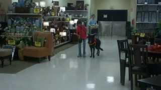 Loki - Off Leash Heeling - Service Dog In Training
