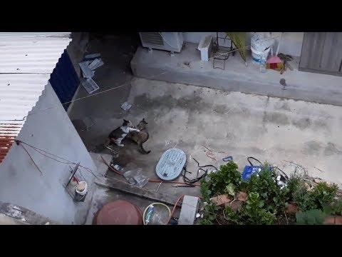 [T201 - C146] 이른아침 다영이와 희망이의 몸싸움 (기어코 충돌해버린 두 어미 길고양이)