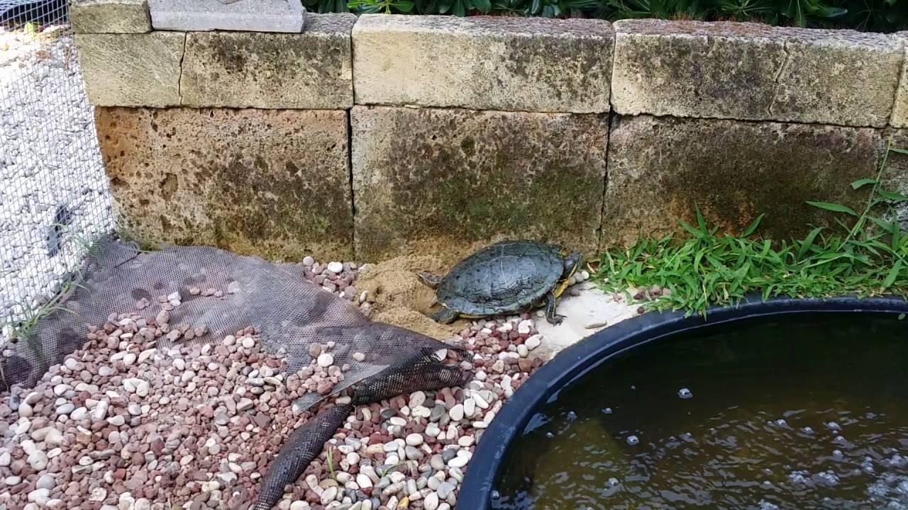 Deposizione uova tartaruga d 39 acqua youtube for Deposizione uova tartarughe terrestri