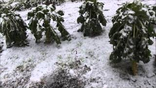 Brussels Sprouts Harvest & A Surprise Snow Storm #90 Heirloom Organic Vegetable Garden