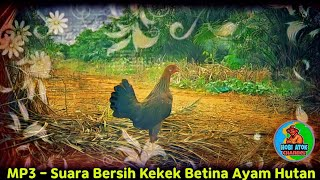 Gambar cover MP3 - Suara Bersih Kekek Betina Ayam Hutan - Hobi Atok