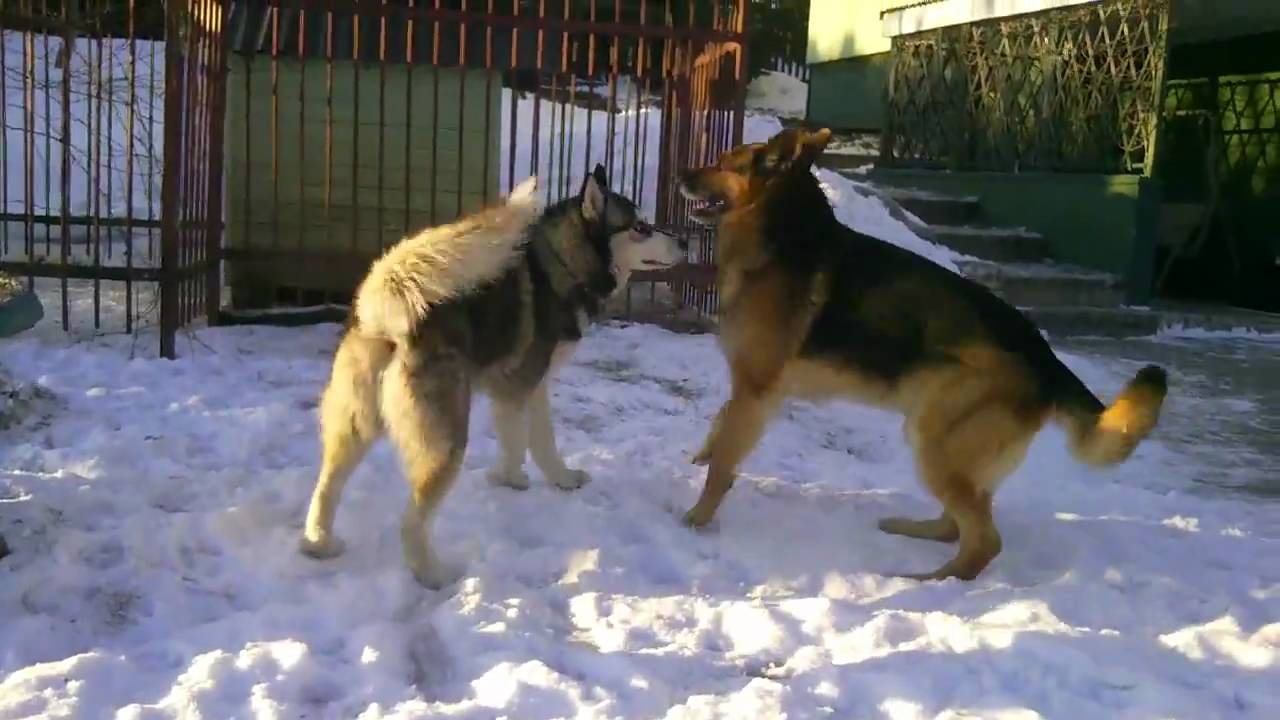 Siberian Husky Versus German Shepherd Youtube