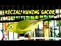 Pancingan Gacor Enggak Pake Lama Kecial Kuning Pasti Terpancing Emosi Seketika  Mp3 - Mp4 Download
