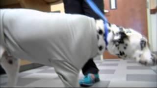 Cop Gives Dalton Dalmatian Second Chance