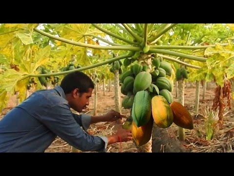 Papaya Fruit   Papaya fruits in Farm naturally   Raw Food Carica papaya health benefits