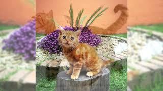 Gato americano de pelo áspero o American wirehair. Pros y contras, precio, Cómo elegir, hechos