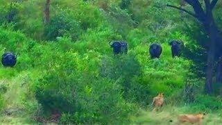 Lions Vs Buffalos War