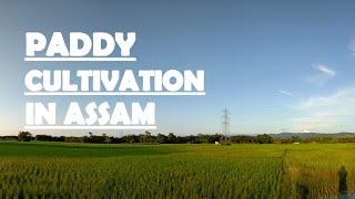 modern-paddy-cultivation-of-assam-the-process-nirmal-boroo-youtube